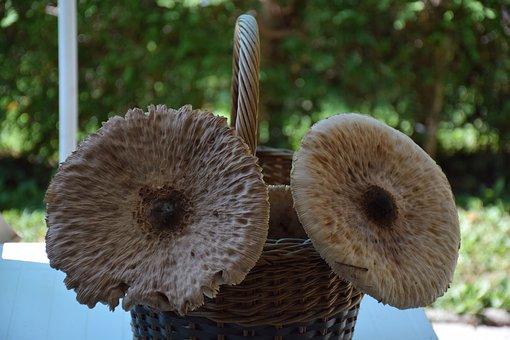 Autumn, Mushroom, Giant Umbrella, Nature
