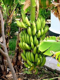 Bananas, Plants, Palm Trees, Israel, Tropical Plants
