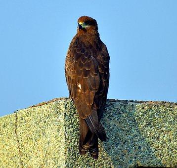 Black Kite, Bird, Raptor, Milvus Migrans, Basking