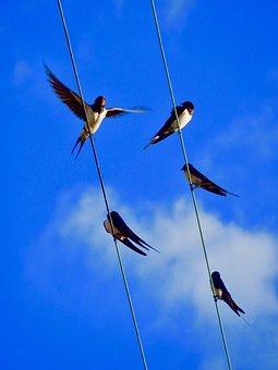 Swallows, Sky, Birds, Blue