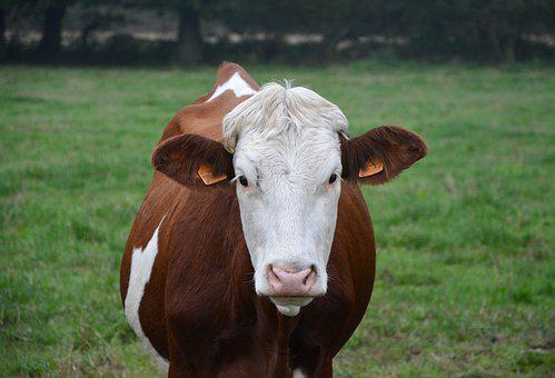 Cow, Young Cow, Heifer, Cattle, Ruminant, Pre, Breeding