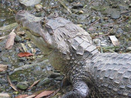 Yacaré, Cayman, Alligator, Reptile, Crocodile, Teeth