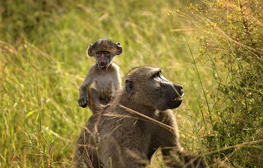 Baboon, Baby, Ride, Cute, Comical, Reserve, Kruger