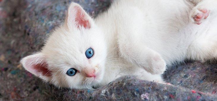 Kitten, Cute, White, Eyes, Blue, Furry, Funny, Looking
