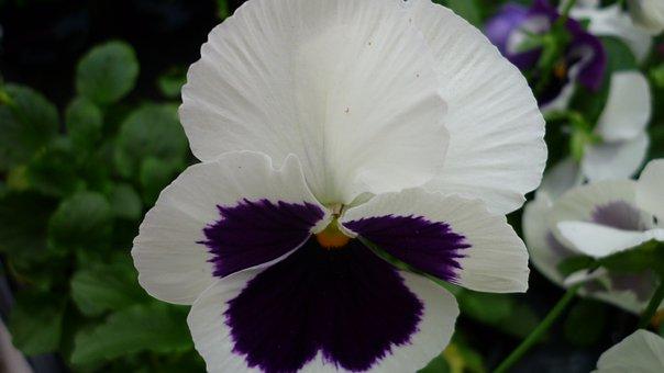 Pansy, Flower, White, Blossom, Bloom, Dark Purple