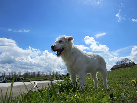 Parson Russell Terrier, Dog, Domestic Dog, Pet
