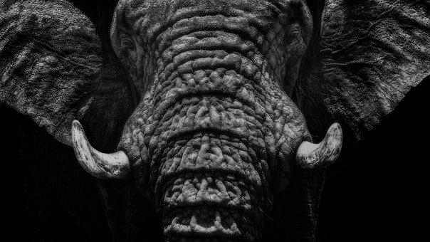 Elephant, Close Up, Black And White, Animal, Nature