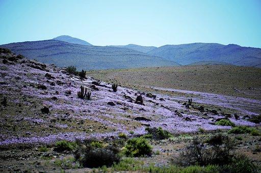 Flowers, Flowering Desert, Atacama, Desert, Mountains