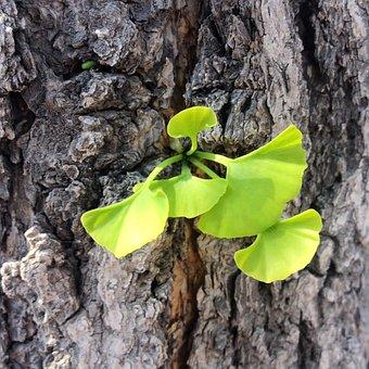 Ginkgo, Leaf, Bud, Tree, Ginkgo Trees