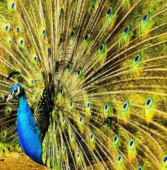 Peacock, Plumage, Tail, Vibrant, Head, Turquoise