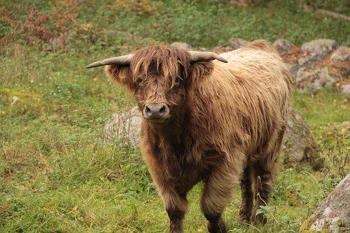 Ko, Cow, Bovine, Cattle, Summer, Highlandcattle