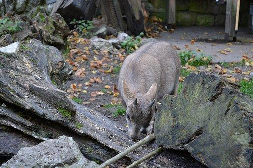 Gams, Animal, Wild Animal, Nature, Log, Zoo