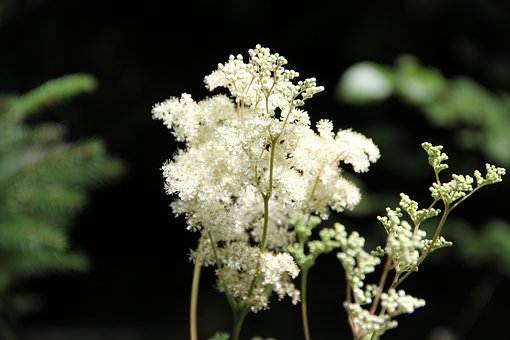 Flower, White, Summer Flower, Meadowsweet