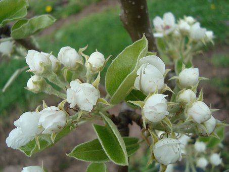 Pear Blossom, Pear, Blossom, Bloom, Spring, Nature