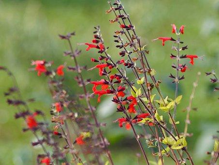 Flowers, Sage, Sage Glowing, Plant, Nature