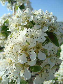 Pear Blossom, Pear, Blossom, Bloom, Nature, Spring