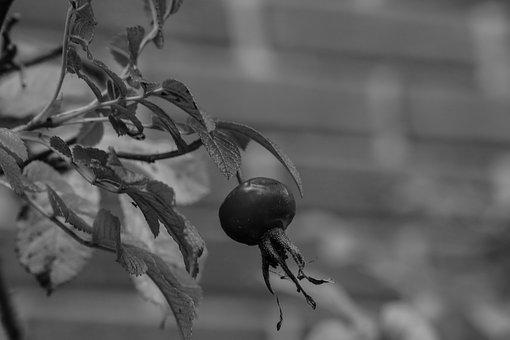 Herb, Rose-hip, Plant, Black And White