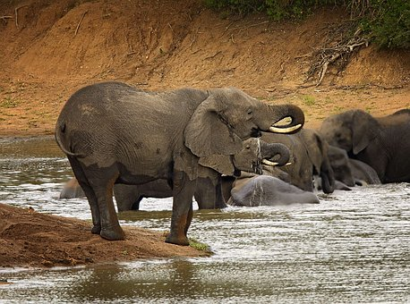 Elephant, Trunk, River, Water, Ivory, Africa, Powerful
