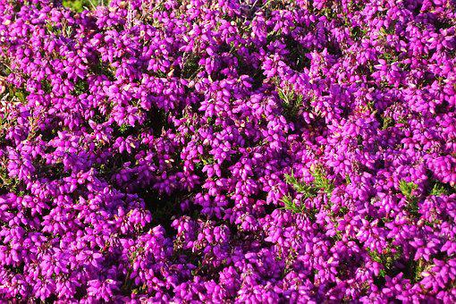 Flowers, Purple, Heather, Purple Flowers, Nature