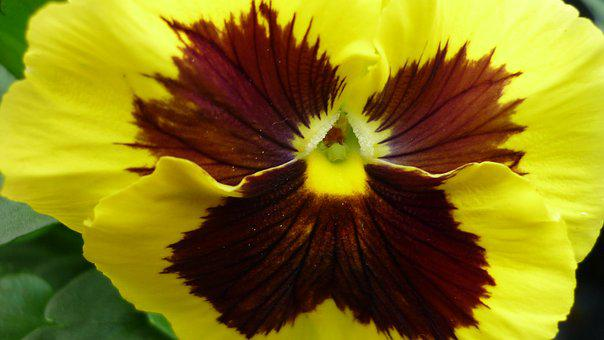 Pansy, Flower, Blossom, Bloom, Yellow, Red Brown