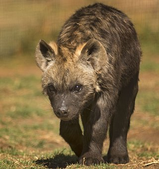 Spotted Hyena, Scavenger, Spotted, Eyes, Game