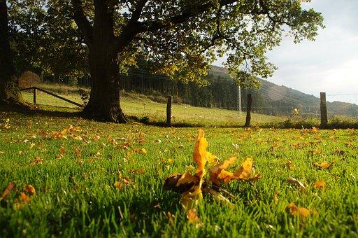 Oak Tree, Summer, Late Summer, Sunset Rank, Pasture