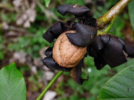 Walnut, Tree, Nature, Autumn, Forest