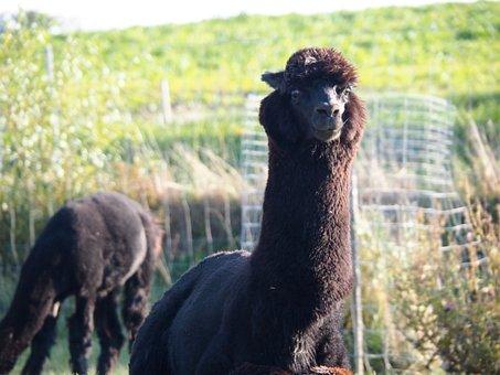 Lama, Black, Cute, Animal Welfare, Fond Of Animals