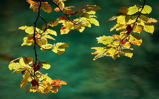 Autumn, Leaves, Nature, Golden Autumn, Tree