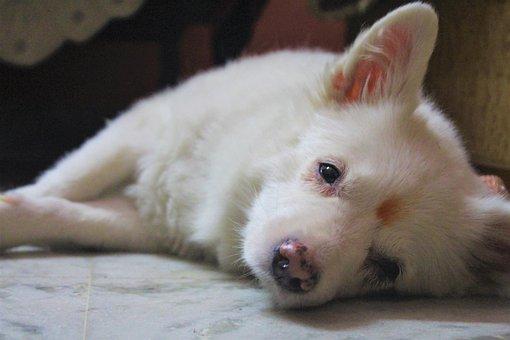 Dog, Bitch, Animal, Cute, Pet, Breed, Mammal, White