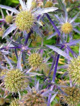 Blue Thistle, Thistle, Thorny, Blue, Flower, Nature
