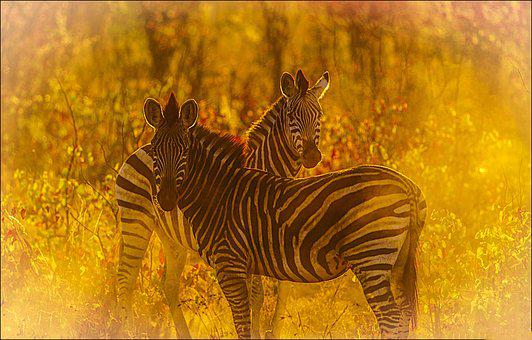 Zebras, Savanna, Golden Light, Mane, Burchell's