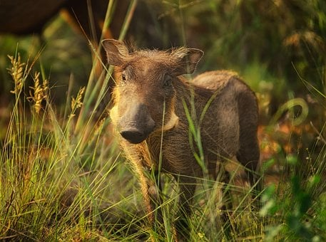 Warthog, Tusks, Warts, Calf, Sunlight, Close, Savanna