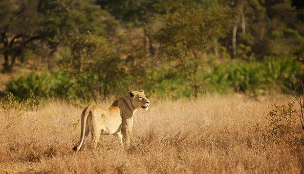 Lioness, Savannah, Bushveld, Female, Hunter, Kruger