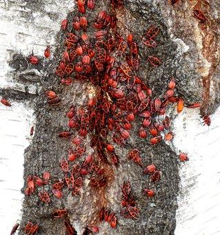 Animals, Firebug Pospolná, Insect, Red