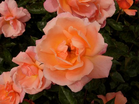 Rose, Pink, Orange, Bee, Flower, Nature, Petal, Romance