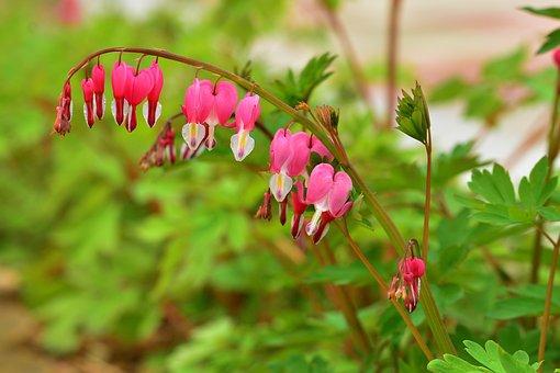 Bleeding Heart, Spring, Flowers, Nature, Plants, Hart