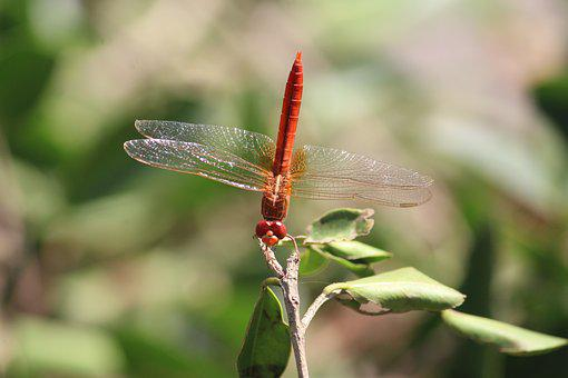 Dragonfly, Insect, Animal, Wildlife, Wing, Bug, Summer