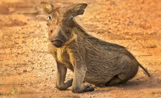 Warthog, Kneel, Eyes, Baby, Cub, Pig, Animal, Africa