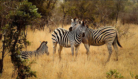 Zebras, Group, Savanna, Bushveld, Landscape, Bush