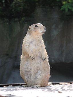 Marmot, Rodent, Mankei, Croissant, Gophers, Fur