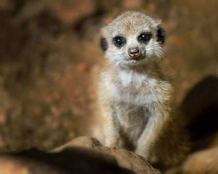 Meerkat, Young, Baby, Brown, Eyes, African, Wilderness