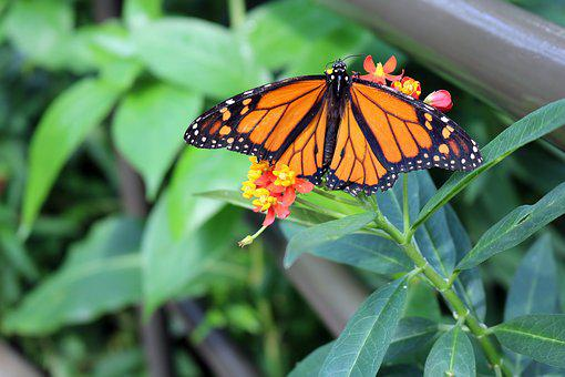 Butterfly, Monarch, Bug, Insect, Nature, Wing, Fly
