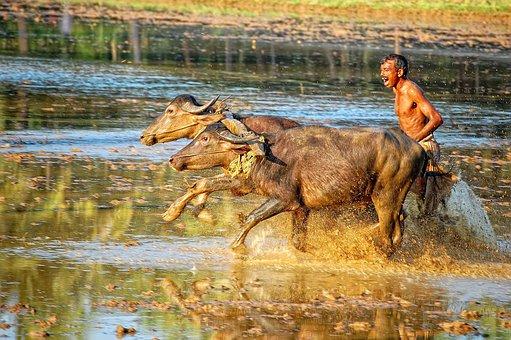 Kambala Race, Rural Sports, Karnataka, India, Sports