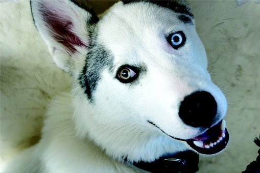 Dog, Wolf, Pet, Friend, Siberian Husky, Animal