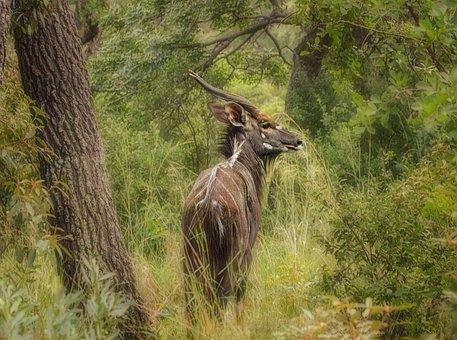 Nyala, Buck, Safari, Wildlife, Horns, South, Game