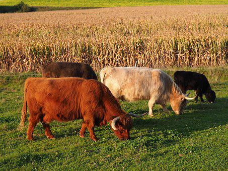 Beef, Cow, Highland Beef, Pasture, Summer, Animal