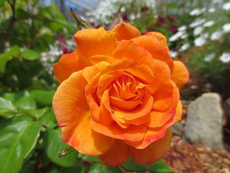 Rose, Bright, Flower, Summer, Garden, Petals, Orange