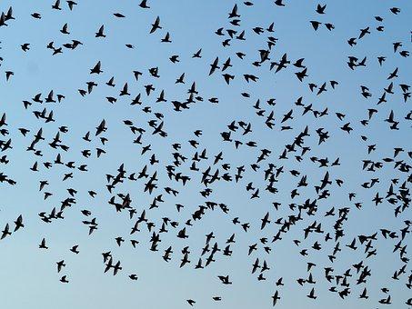 Birds, Swarm, Flock Of Birds, Sky, Fly, Migratory Birds
