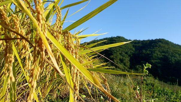 For, Harvest, Thanksgiving, Rice Ear, Mungyeong